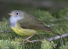 Connecticut Warbler Photo