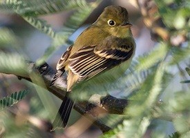 Cordilleran Flycatcher Photo