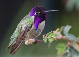 Costa's Hummingbird Photo