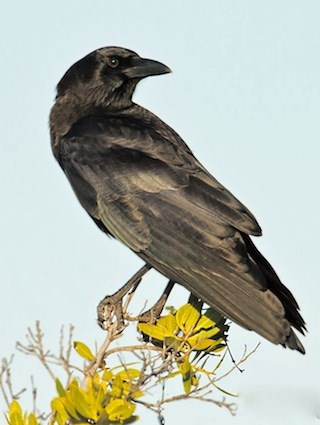 Northwestern Crow Identification All About Birds Cornell Lab - Bird map of the us crows