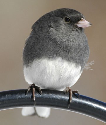 """Slate-colored"" Junco"