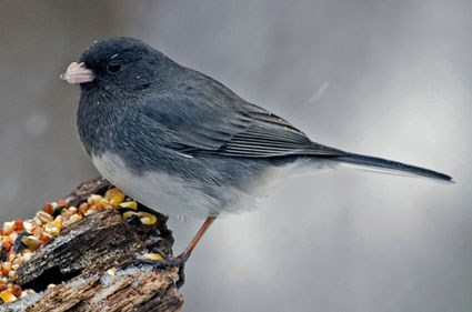 "Male ""Slate-colored"" Junco"