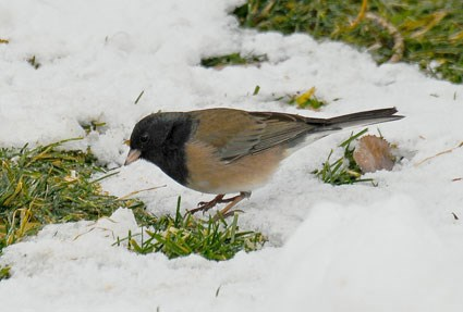 junco identification all about birds cornell lab of ornithology