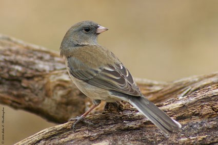 "Female ""Slate-colored"" Junco"