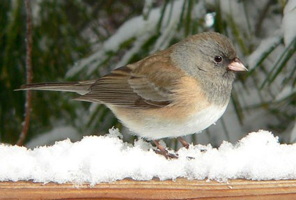 "Female ""Oregon"" Junco"