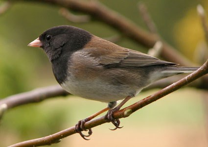 "Male ""Oregon"" Junco"