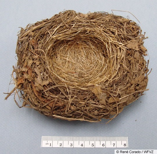 Dark-eyed Junco Nest Image 1
