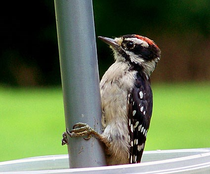 Downy Woodpecker Feathers Downy Woodpecker