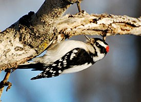 http://www.allaboutbirds.org/guide/Downy_Woodpecker/id
