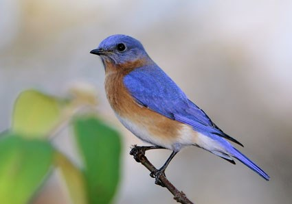 Blue bird - photo#26
