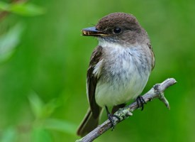 Eastern Phoebe Photo
