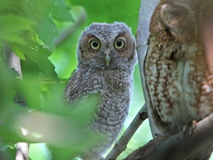eastern screech-owl, identification, all about birds - cornell lab