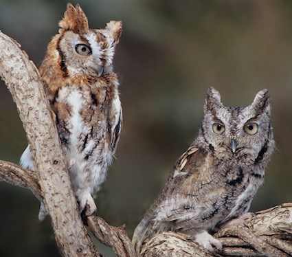Image result for eastern screech owl
