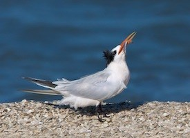 Elegant Tern Photo