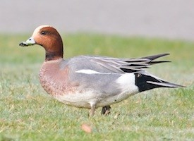 Eurasian Wigeon Photo