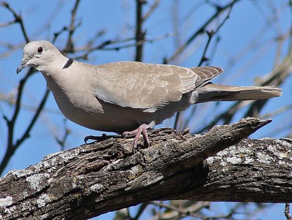 African collared dove vs eurasian collared dove - photo#16