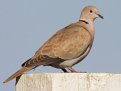 African collared dove vs eurasian collared dove - photo#18