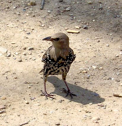 Transitional juvenile