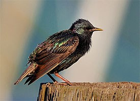 European Starling Photo