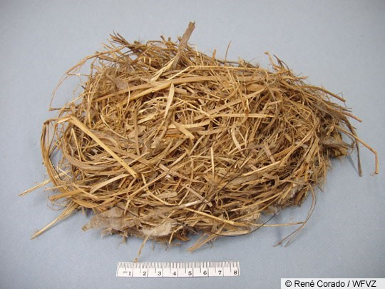 European Starling Nest Image 1
