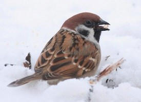 Eurasian Tree Sparrow Photo
