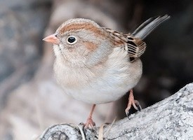 Field Sparrow Photo