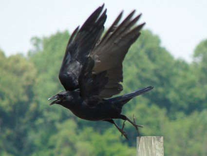 Fish Crow Identification All About Birds Cornell Lab Of - Bird map of the us crows
