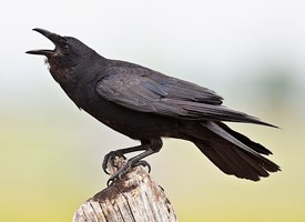 Fish Crow Photo