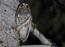 Flammulated Owl Photo