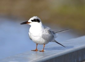 Forsters Tern Photo