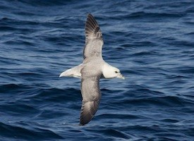 Northern Fulmar Photo
