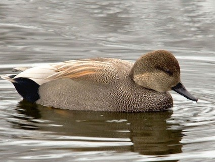 Gadwall, Identification, All About Birds - Cornell Lab of ...