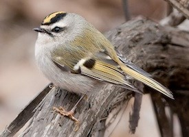 Golden-crowned Kinglet Photo