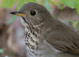 Gray-cheeked Thrush Photo