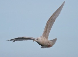 Glaucous Gull Photo