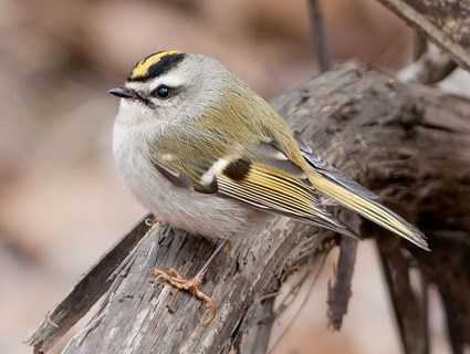 Ruby Crowned Kinglet Identification All About Birds