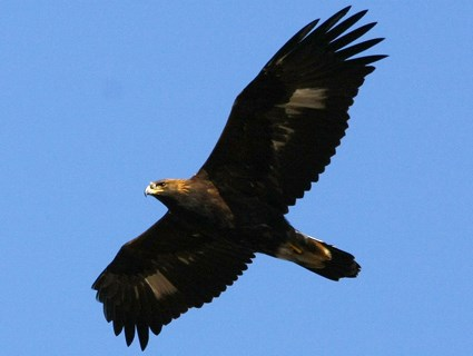 Golden Eagle, Identification, All About Birds - Cornell Lab of ...