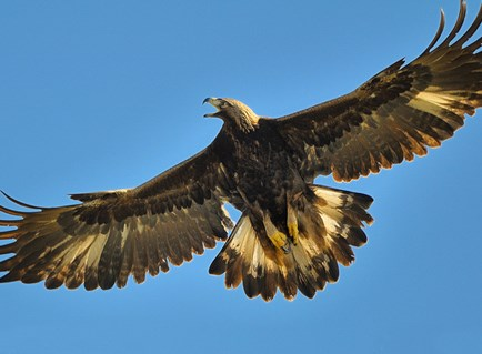 http://www.allaboutbirds.org/guide/PHOTO/LARGE/golden_eagle_8.jpg
