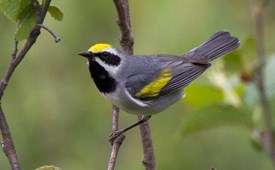 Image result for Golden Warbler