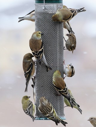 American and Lesser Goldfinches with Pine Siskins
