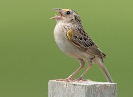 Grasshopper Sparrow Photo