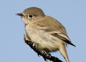 Gray Flycatcher Photo