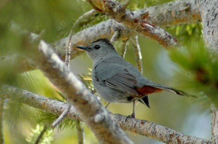 Grey Catbird Dumetella Carolinensis Biodiversity Of The Central