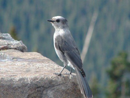 Adult (Rocky Mountains)