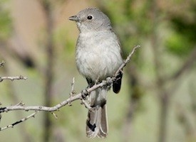 Gray Vireo Photo