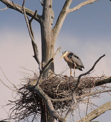 Adult at nest