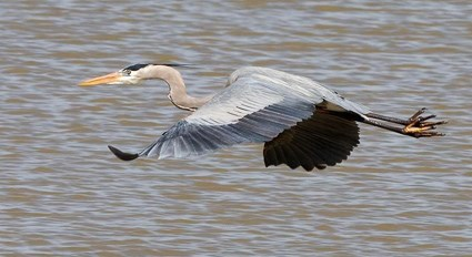 Image result for great blue heron