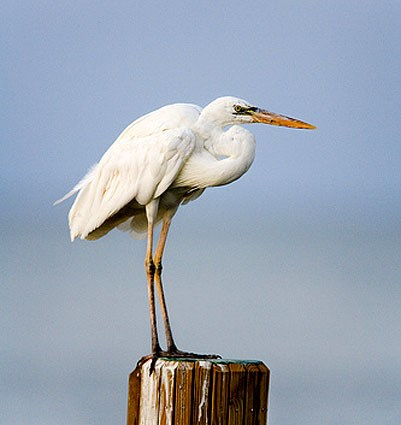 "White form ""Great White Heron"""