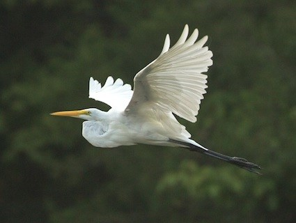 Great Egret Identification All About Birds  Cornell Lab Of Ornithology