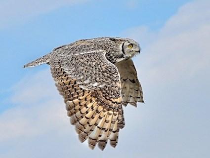 Great Grey Owl Flying Great Horned Owl, Iden...